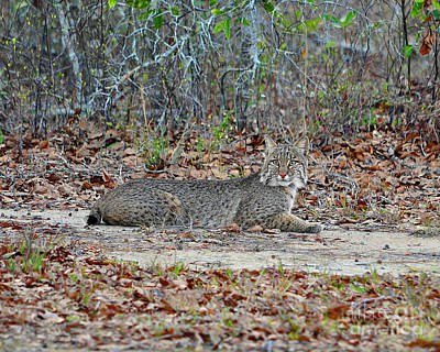 Art Print featuring the photograph Bushed Bobcat by Al Powell Photography USA