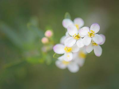 Photograph - Bushrue Flowers by Alexander Kunz