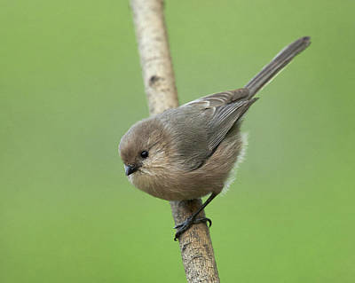 Photograph - Bushtit by Doug Herr