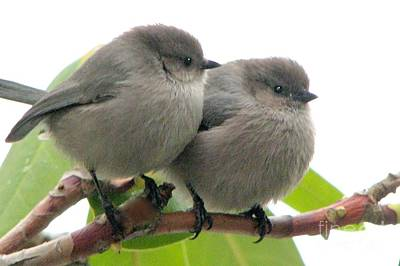 Photograph - Bushtits by Frank Townsley