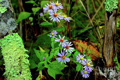 Sumac Flower Photograph - Bushy Aster In Sumac Grove by Thomas R Fletcher