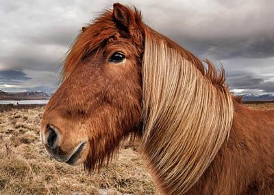 Photograph - Bushy Icelandic Horse by Pradeep Raja PRINTS