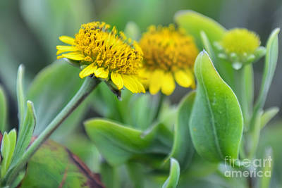 Photograph - Bushy Seaside Tansy by Olga Hamilton