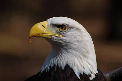 Eagle Digital Art - bust image of a Bald Eagle by Chris Flees
