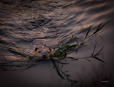 Photograph - Busy As A Beaver by Tim Bryan