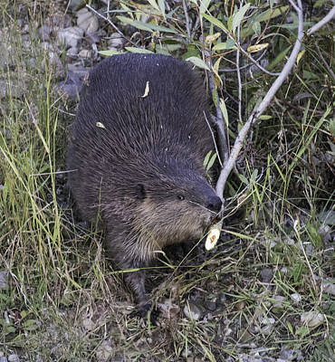 Photograph - Busy Beaver by Elizabeth Eldridge