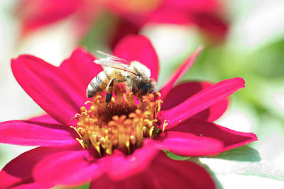 Photograph - Busy Bee 1 by Brian Hale