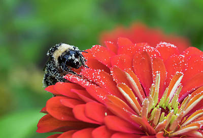Photograph - Busy Bee by Denise McKay