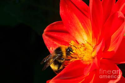 Photograph - Busy Bee by Diane Macdonald