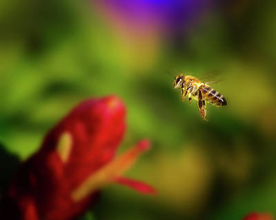 Photograph - Busy Bee by Mark Andrew Thomas