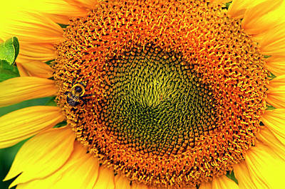 Photograph - Busy Bee On Sunflower by Sharon Talson