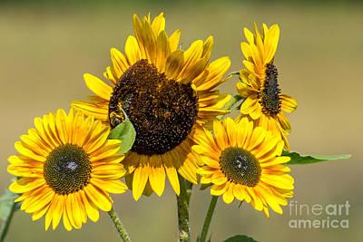 Wall Art - Photograph - Busy Bee On Sunflowers by Marj Dubeau
