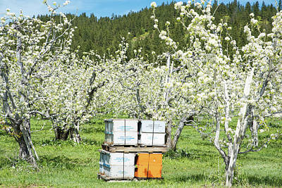 Photograph - Busy Bees Near Leavenworth by Tom Cochran