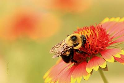 Photograph - Busy Bumblebee by Chris Berry