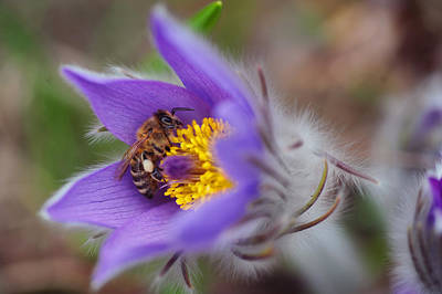 Railroad - Busy Busy Bee on Pasqueflower by Jenny Rainbow