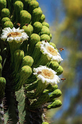 Photograph - Busy Little Bees On Saguaro Flowers  by Saija Lehtonen