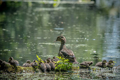 Photograph - Busy Mother Wood Duck by Cheryl Baxter