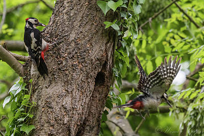 Photograph - Busy Parents. Great Spotted Woodpecker Pair by Wendy Cooper