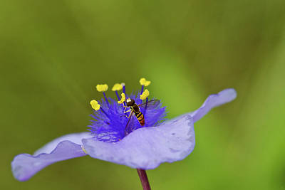 Photograph - Busy Visitor - Syrphid Fly On Spiderwort by Jane Eleanor Nicholas