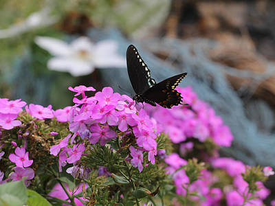 Photograph - Butterfly -- Black On Pink by Joseph C Hinson Photography