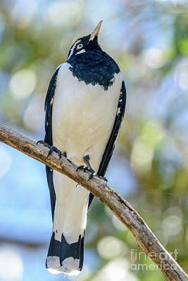 Photograph - Butcherbird 01 by Werner Padarin
