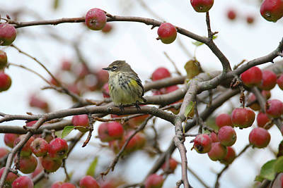 Photograph - Butter Butt And Crab Apples by Brook Burling