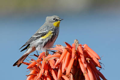 Yellow Rumped Warbler Photograph - Butter Butt by Fraida Gutovich