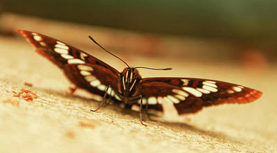 Photograph - Lorquin's Admiral Butterfly 3 by Marilyn Wilson