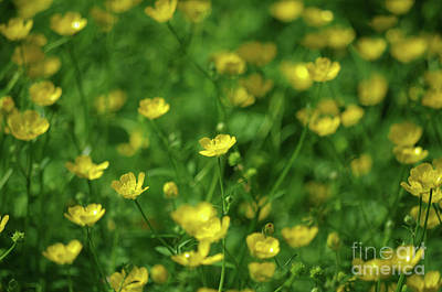 Buttercup Field- Butler Creek Trail- Gresham- Oregon Art Print