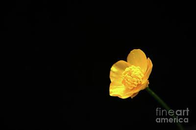 Photograph - Buttercup Flower by Alan Harman