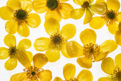 Buttercup Flower Photograph - Buttercup Flowers Background by Vishwanath Bhat