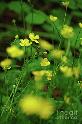 Photograph - Buttercup Grouping- Vertical- Butler Creek Trail by Rick Bures