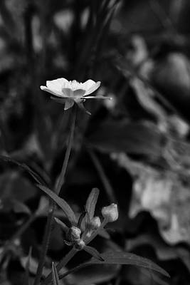 Photograph - Buttercup In Black And White by Michael Dougherty