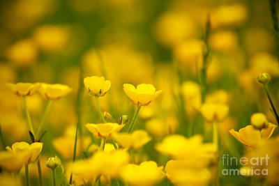 Photograph - Buttercup Meadow by Lisa Cockrell