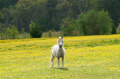 Photograph - Buttercup Pony by Katy Hawk