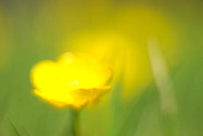Photograph - Buttercup by Tony Serzin