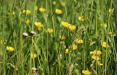 Photograph - Buttercups And Green Grass At Moore State Park by Michael Saunders