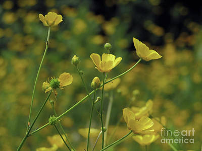 Photograph - Buttercups Field 3 by Kim Tran