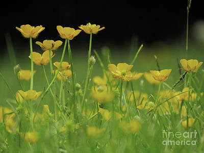 Photograph - Buttercups Field by Kim Tran