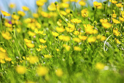 Photograph - Buttercups In Motion by David Hare