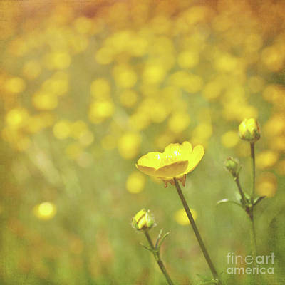 Buttercups Art Print by Lyn Randle