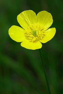 Photograph - Buttercup_wildflower_052016_0049 by Brian Snyder