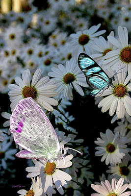 Photograph - Butterflies And Daisies 0033 by Ericamaxine Price