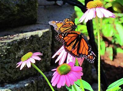 Photograph - Butterflies And Pink Cornflowers by Cynthia Guinn