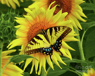 Photograph - Butterflies And Sunflowers by Scott Cameron