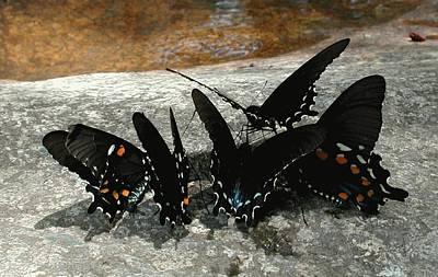 Butterflies Drinking Art Print