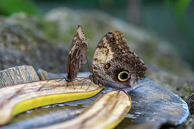 Photograph - Butterflies Eating Bananas by Raphael Lopez