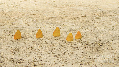 Photograph - Butterflies In A Row II by Silvia Bruno