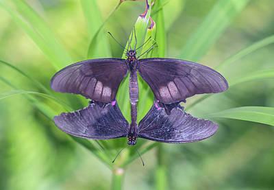 Photograph - Butterflies Mating 1328-051818-1cr by Tam Ryan
