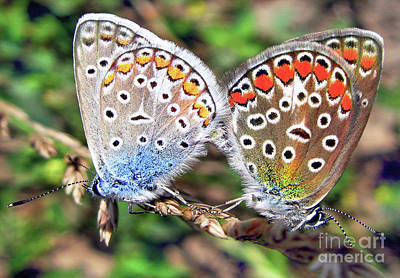 Photograph - Butterflies Mating   by Daliana Pacuraru
